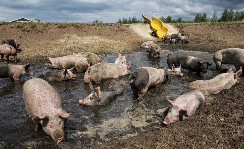 Если человеку постоянно говорить, что он свинья, то он в конце-концов захрюкает